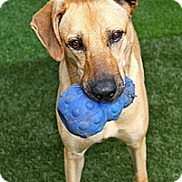 Shepherd (Unknown Type) Mix Dog for adoption in Miami, Florida - Ricco