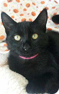 Domestic Shorthair Kitten for adoption in Flower Mound, Texas - Eenie