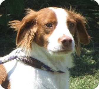 Brittany Dog for adoption in Greenville, Rhode Island - Brittney