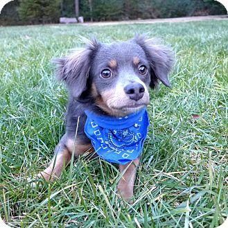 Spaniel (Unknown Type)/Dachshund Mix Dog for adoption in Mocksville, North Carolina - Luke