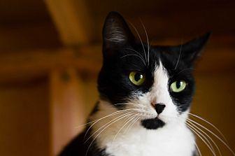 Domestic Shorthair Cat for adoption in Eureka, California - Minnie