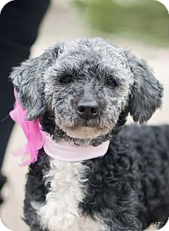 Poodle (Miniature)/Schnauzer (Miniature) Mix Dog for adoption in Kingwood, Texas - Violet