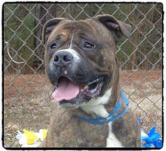 American Bulldog/Boxer Mix Dog for adoption in Marietta, Georgia - CAESAR(R) - see video