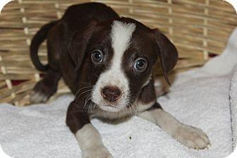 Labrador Retriever/Terrier (Unknown Type, Medium) Mix Puppy for adoption in Waldorf, Maryland - Colonel