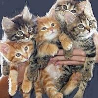 Adopt A Pet :: Kittens !!!!! - Huntsville, AL