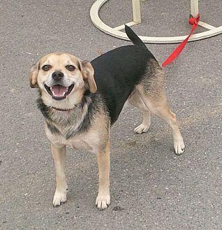 Beagle/German Shepherd Dog Mix Dog for adoption in Coal City, West Virginia - Lucky