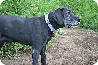 German Shorthaired Pointer Dog for adoption in Manhattan, Kansas - Dixie