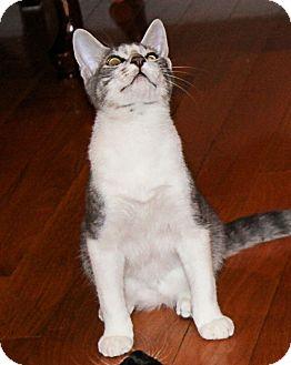 Domestic Shorthair Kitten for adoption in Morganton, North Carolina - Desi