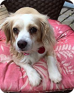 Cocker Spaniel Mix Dog for adoption in Sacramento, California - Mitzy-ADOPTION PENDING