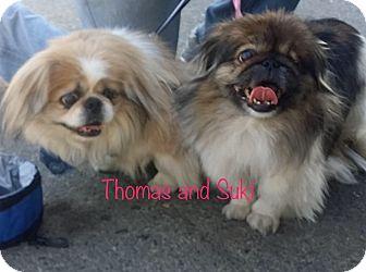 Pekingese Dog for adoption in SO CALIF, California - THOMAS