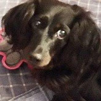 Dachshund Dog for adoption in Houston, Texas - Sophie Stahlbaum