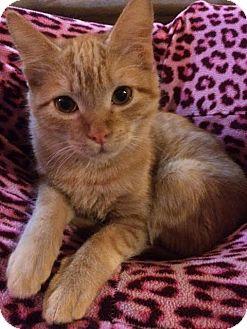 Domestic Shorthair Cat for adoption in Hammond, Louisiana - Meeka