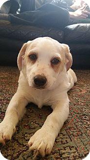 Golden Retriever/Spaniel (Unknown Type) Mix Puppy for adoption in Prior Lake, Minnesota - Bragg