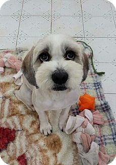 Shih Tzu/Tibetan Terrier Mix Dog for adoption in Fairfax, Virginia - Achu