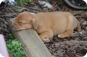 Boxer/Hound (Unknown Type) Mix Puppy for adoption in Atlanta, Georgia - Libby Lips