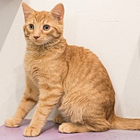 Adopt A Pet :: Harry Caray - Mt. Prospect, IL