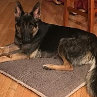 German Shepherd Dog Dog for adoption in Morrisville, North Carolina - Rosabelle