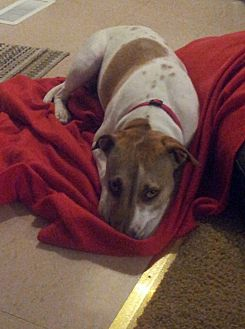 Jack Russell Terrier/American Pit Bull Terrier Mix Dog for adoption in Leavenworth, Kansas - Rosie