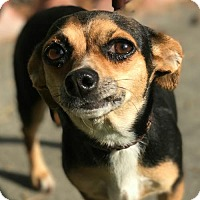 Adopt A Pet :: Lacy - Sunnyvale, CA