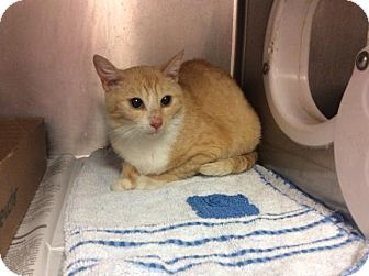 Domestic Shorthair Cat for adoption in Janesville, Wisconsin - Halo