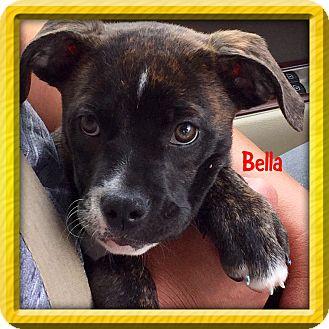 Boxer/Bulldog Mix Puppy for adoption in Brattleboro, Vermont - BELLA