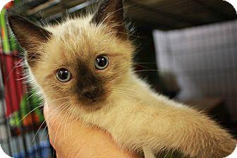 Siamese Kitten for adoption in New Richmond,, Wisconsin - Nicky