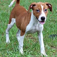 Adopt A Pet :: Kalista - Waldorf, MD
