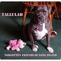 Terrier (Unknown Type, Medium) Mix Dog for adoption in levittown, New York - Tallulah