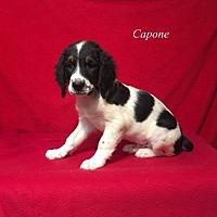Adopt A Pet :: Capone - Chester, IL