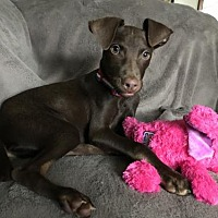 Adopt A Pet :: Dillon (MD) - New York, NY
