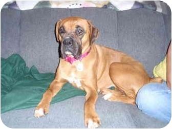 Boxer Dog for adoption in California City, California - Pogo