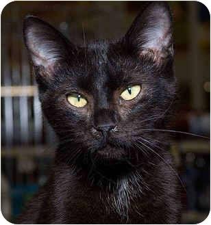 Domestic Shorthair Cat for adoption in Sacramento, California - Special K