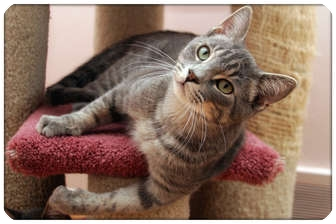 Domestic Shorthair Cat for adoption in Sterling Heights, Michigan - Flint - ADOPTED!