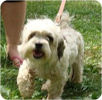 Shih Tzu Dog for adoption in Hagerstown, Maryland - Upton