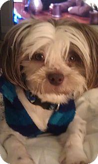 Shih Tzu Mix Dog for adoption in Sheridan, Oregon - Teddy
