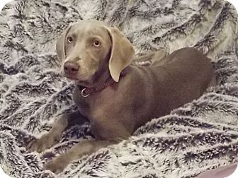 Weimaraner Puppy for adoption in Inverness, Florida - LILY