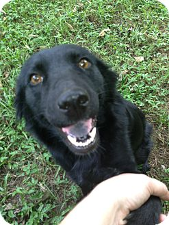 Flat-Coated Retriever/Retriever (Unknown Type) Mix Dog for adoption in Largo, Florida - Annabelle