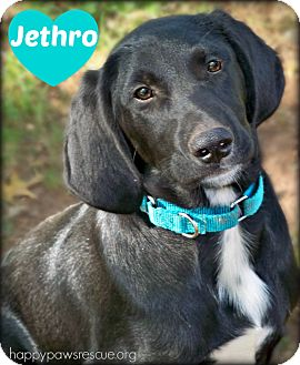 Hound (Unknown Type)/Labrador Retriever Mix Puppy for adoption in South Plainfield, New Jersey - Jethro