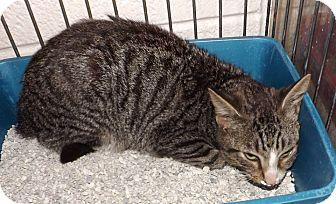 Domestic Shorthair Kitten for adoption in Henderson, North Carolina - Lindy