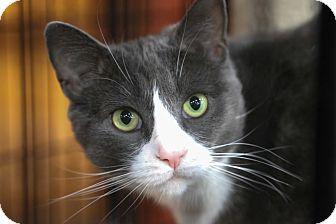 Domestic Shorthair Cat for adoption in Manassas, Virginia - Gracie