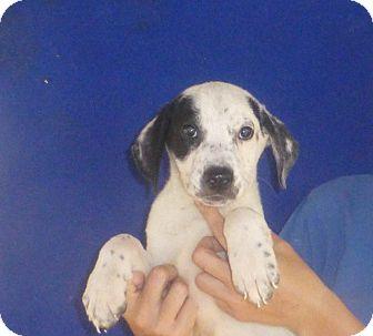 German Shorthaired Pointer/Labrador Retriever Mix Puppy for adoption in Oviedo, Florida - Aztex