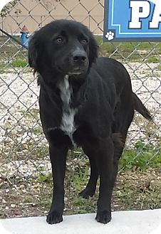 Border Collie Mix Dog for adoption in Kirby, Texas - Jenna