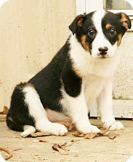 Australian Shepherd/Border Collie Mix Puppy for adoption in Snohomish, Washington - Arleen, awesome aussie!