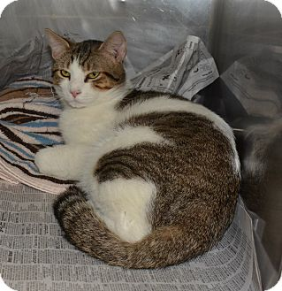 Domestic Shorthair Cat for adoption in Jacksonville, Arkansas - Montie