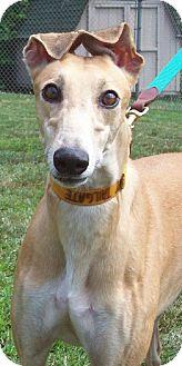 Greyhound Dog for adoption in Randleman, North Carolina - Kate