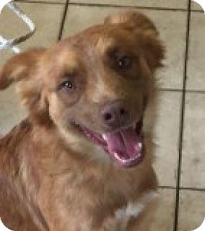 Spaniel (Unknown Type) Mix Dog for adoption in Las Vegas, Nevada - Elvis