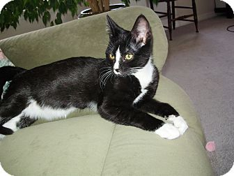 American Shorthair Kitten for adoption in Austin, Colorado - Squeak