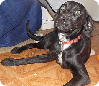 Labrador Retriever Mix Dog for adoption in Earlville, New York - Stella