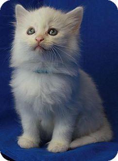 Domestic Mediumhair Kitten for adoption in Winston-Salem, North Carolina - Snowball