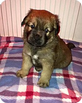 Labrador Retriever Mix Puppy for adoption in Umatilla, Florida - Eve